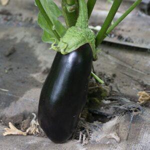 насіння баклажану