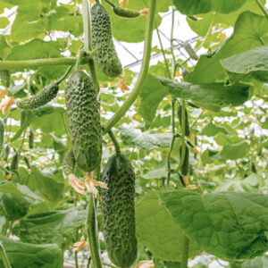 Насіння огірка