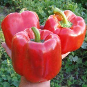 насіння перцю