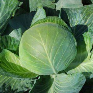 насіння капусти білоголової